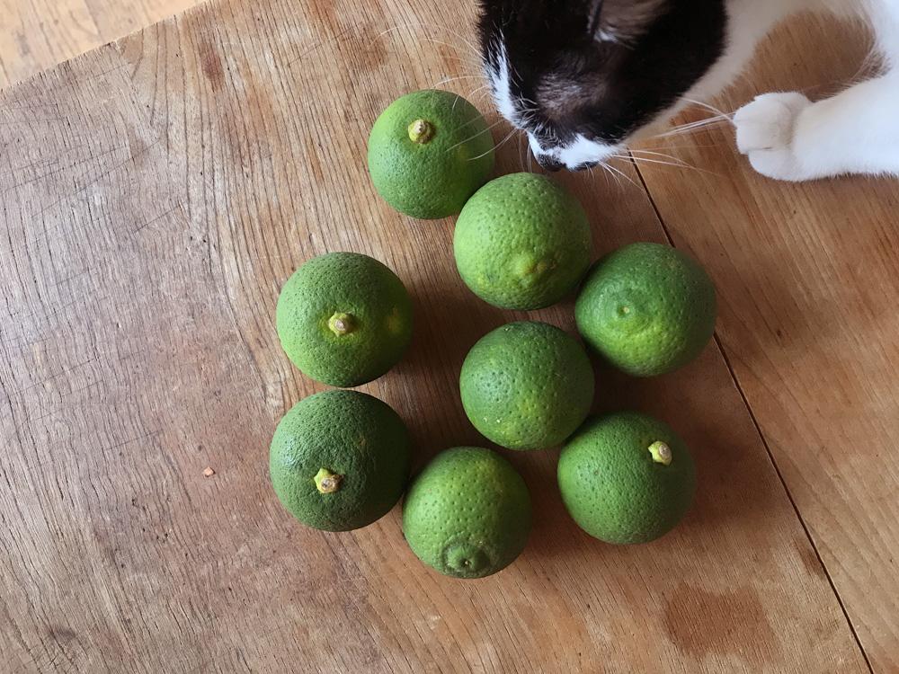 かぼすの香りをチェックする猫