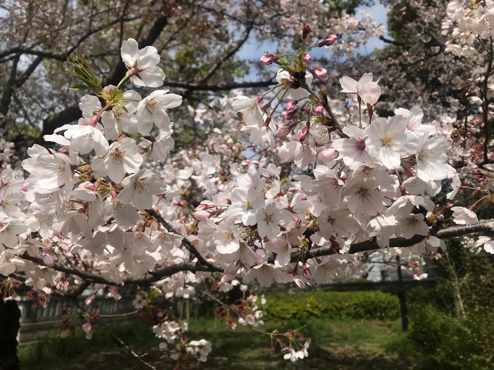 宴会じゃない方が桜を楽しめる