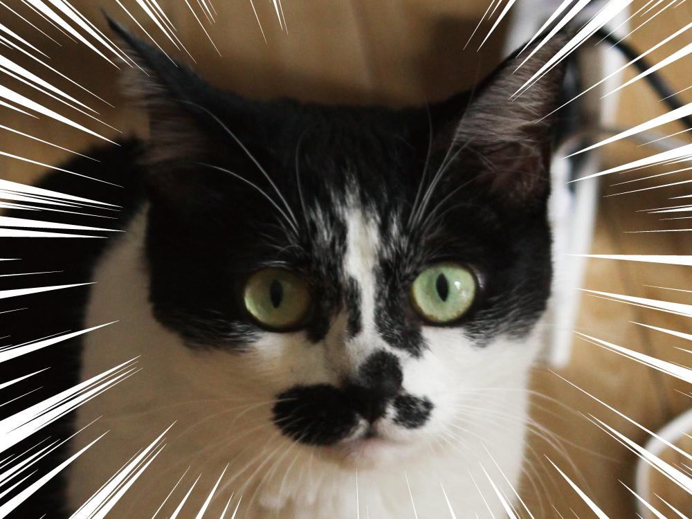 般若顔の猫